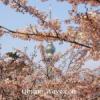 日本からやってきた可愛い春。