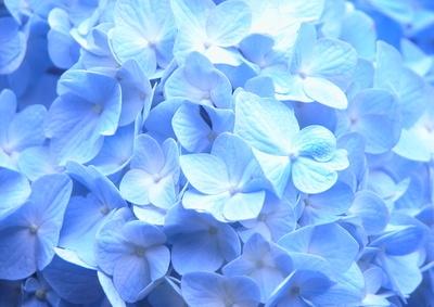 私が大好きな紫陽花「青」