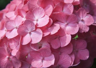 私が大好きな紫陽花「ピンク」