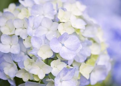私が大好きな紫陽花「白」