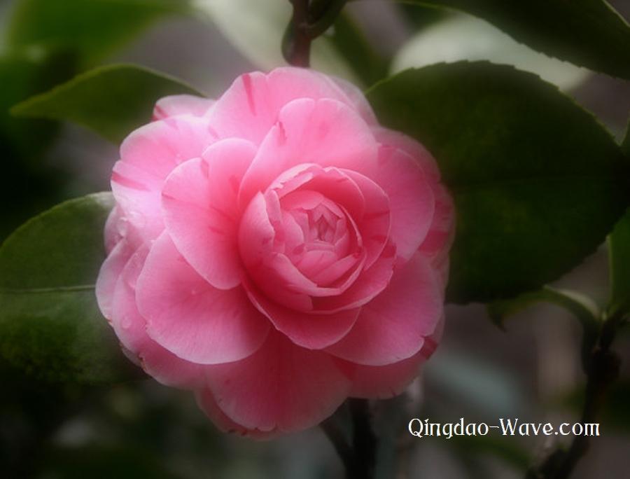 重慶市の花、山茶花。花言葉は「理性」「謙遜」
