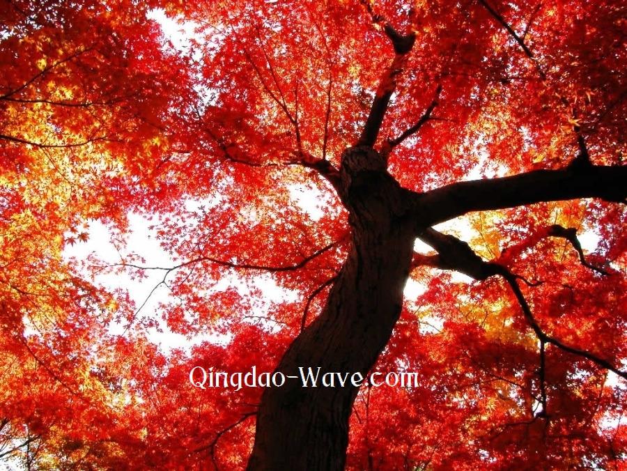 紅い木の下