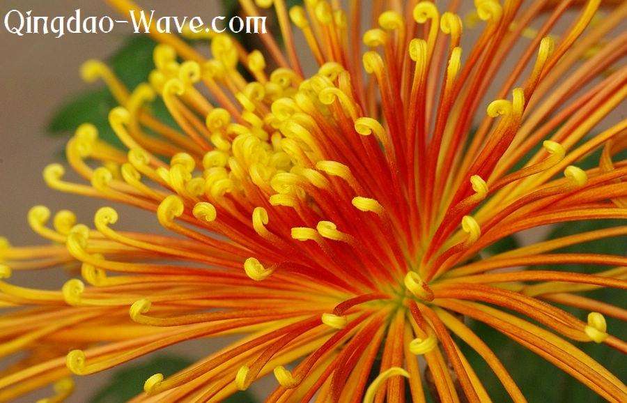 青島の中山公園の菊。