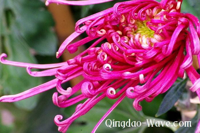 中山公園の菊。