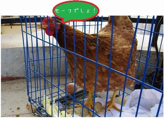 卵を産んでくれたニワトリさん