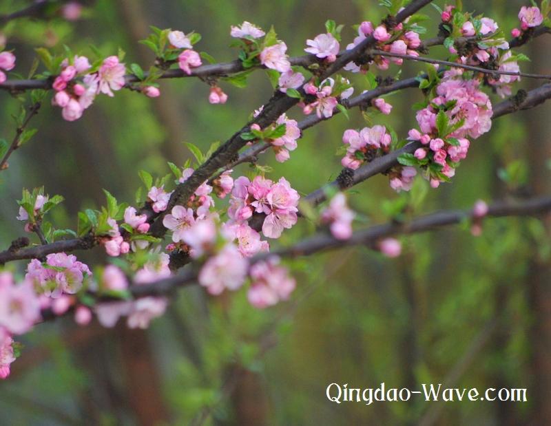 中国青島の中山公園の桜