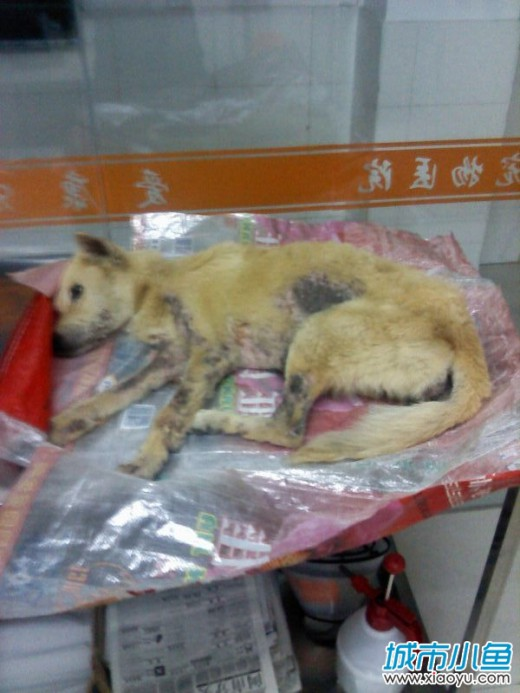 全身をダニに噛まれて重傷な犬。タオバオで救いを待つ。